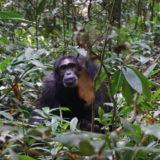 vieux singe